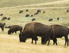 sd_blk_hills_custer_st-park_herd_bison_ss5494279